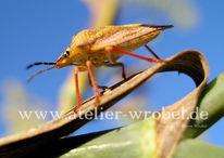 Makro, Insekten, Wanze, Käfer