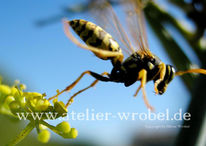 Natur, Fotografie, Schmetterling, Wespe