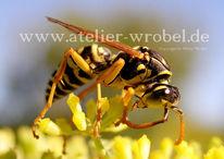 Insekten, Wespe, Makro, Natur