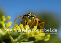Natur, Schmetterling, Wespe, Fotografie