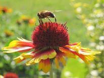 Blüte, Biene, Kokardenblume, Sommer