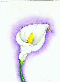 Zeichnungen, Zeichnung, Calla