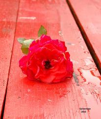 Traurig, Rose, Verwelken, Fotografie