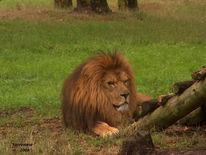 Löwe, Sommer, Zoo, Licht