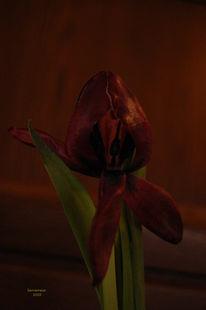 Traurig, Verwelken, Tulpen, Fotografie