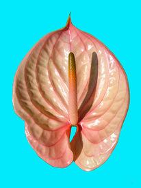 Blüte, Flamingoblume, Natur, Pflanzen