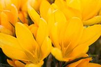 Gelb, Frühling, Krokus, Makro