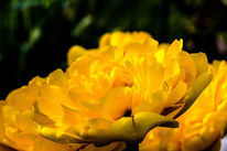 Gelbe tulpe, Frühling, Blumen, Blüte