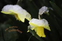 Schnee, Osterglocken, Ostergruß, 2015