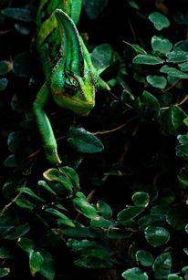 Grün, Chamäleon, Tropen, Tiere