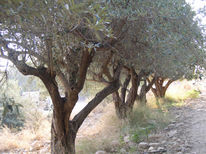 Olivenbäume, Plantage, Sonne, Stimmung
