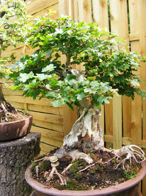 Pflanzen, Bonsai, Schale, Ahorn