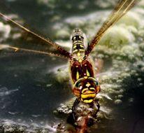 Teich, Alltäglich, Insekten, Libelle