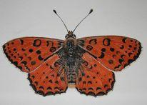 Schmetterling, Edelfalter, Aquarell