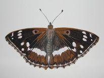 Natur, Kleiner eisvogel, Schmetterling, Aquarell