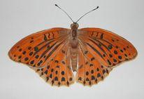 Schmetterling, Perlmutfalter, Natur, Aquarell