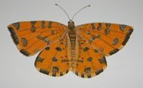 Pantherspanner, Schmetterling, Aquarell
