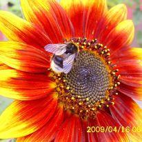 Sonnenblumen, Sonnenblume mit hummel, Hummel