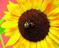 Sonnenblume fotografiert, Sonnenblumen, Sonnenblume mit hummel, Hummel