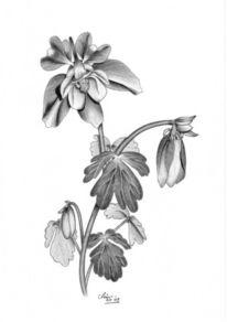 Akelei, Blumen, Natur, Zeichnungen