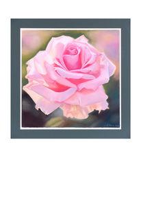 Abendsonne, Rosa, Rose, Zeichnungen