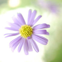 Lila, Blüte, Schweben, Fotografie