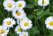Blumen, Gänseblümchen, Insekten, Fotografie