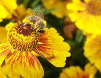 Biene, Blumen, Fotografie, Pflanzen