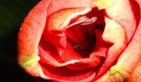 Rot, Rosa, Wundervoll, Feurig