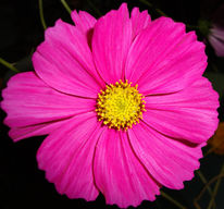 Rosa, Blumen, Fotografie, Pflanzen