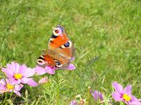 Schmetterling, Wiese, Himmlisch, Fotografie