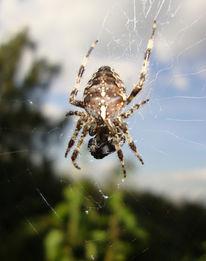Schönheit, Kribbelrabbel, Spinne, Netz