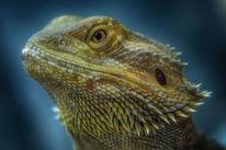 Agame, Reptil, Bartagame, Portrait