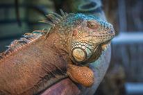 Leguan, Reptil, Relaxt, Fotografie