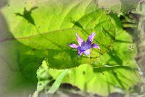 Blüte, Fragil, Lila, Natur