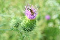Blütenstaub, Sommer, Sammeln, Distel