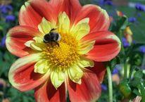 Hummel, Blumen, Digital, Spiegelreflexkamera