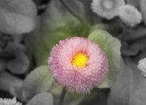 Gänseblümchen, Blumen, Fotografie, Pflanzen