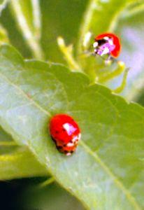 Mai, Insekten, Sexualität, Marienkäfer