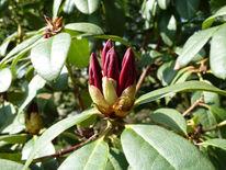 Fotografie, Stillleben, Rhododendron