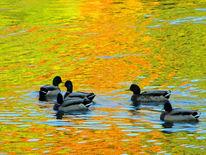 Fluss, Kunstfotografie, Ente, Herbst