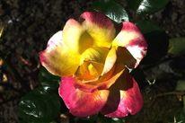Herbst, Hdr, Rose, Fotografie