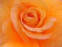 Rose, Tautropfen, Natur, Makro