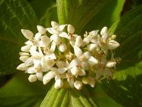 Strauch, Blüte, Natur, Weiß