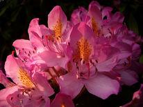 Rosa, Natur, Makro, Pflanzen