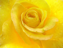 Natur, Rose, Pflanzen, Gelb