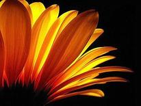Blüte, Makro, Natur, Aster
