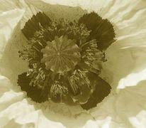 Natur, Bildbearbeitung, Mohn, Blumen