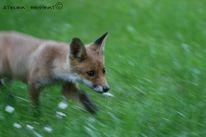 Tiere, Fuchs, Fotografie, Junge