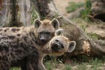 Hyäne, Raubtier, Tüpfelhyäne, Katzenartige